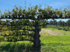 arbre - arboriculture - versailles - potager du roi - flo - syma